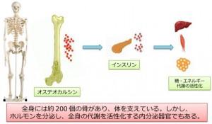 九大,骨が作るオステオカルシンが全身の代謝を改善することを発見