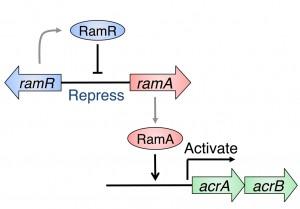 New The Crystal structure of multidrug resistance regulator RamR