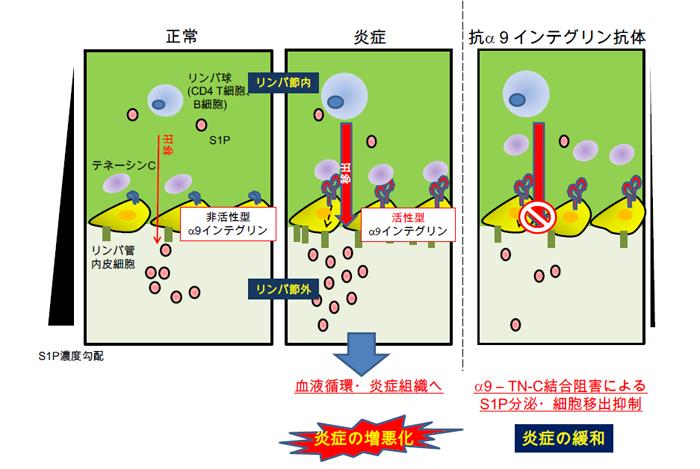 北大,α9 インテグリンによる炎症の所属リンパ節からのリンパ球移出 ...