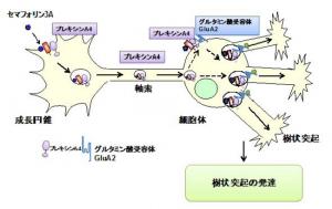 横市大,神経回路形成の新たなメカニズムを解明