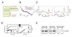 NIBBら,光合成反応調節の仕組みであるステート遷移のメカニズムを解明