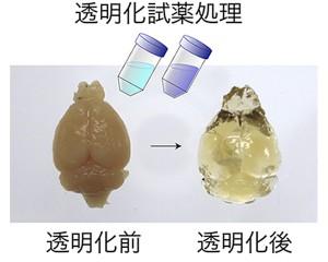 理研,成体のマウスとサルの脳を透明化し1細胞解像度で観察することに成功
