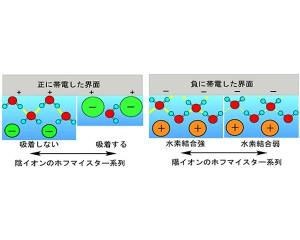 理研,ホフマイスター系列発現について新たなメカニズムを提案