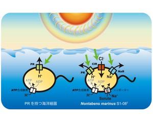 東大,光エネルギーを用いて塩化物イオンを細胞内に運び入れる機構を発見