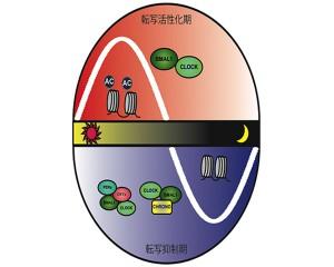 理研ら,最後の時計遺伝子を発見