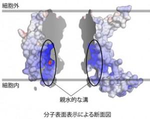 東大ら,タンパク質を細胞膜に組み込むメカニズムを解明