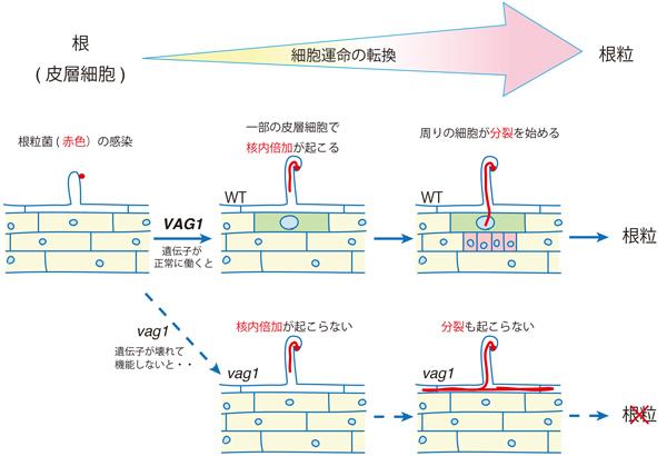 基礎生物学研究所,植物と根粒菌が共生する「根粒」が根から分化する過程を制御する遺伝子を発見