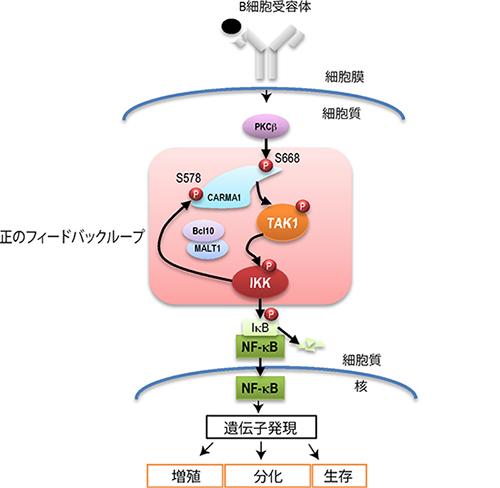 理研、免疫応答の要となる分子の閾値決定機構を解明