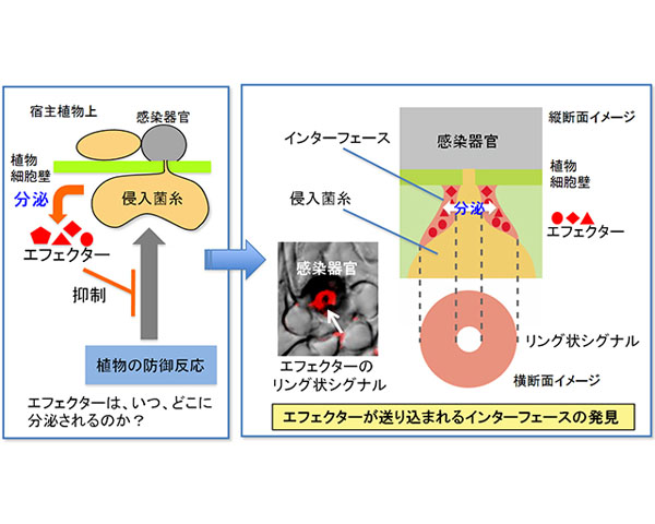 京大,病原菌がタンパク質を植物に送り込む方法を解明