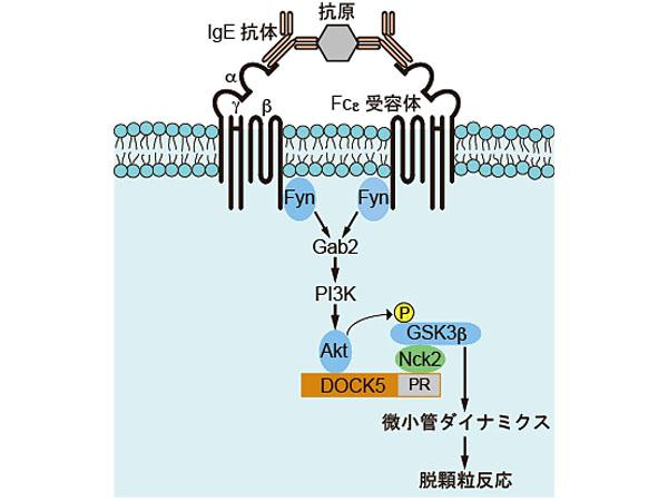 九大,アレルギー反応を引き起こす化学物質の放出に重要なカギを持つタンパク質を同定