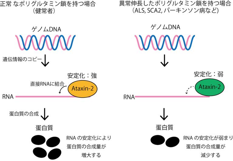 大阪大,ALSや遺伝性脊髄小脳変性症などの発症の鍵を握るタンパク質が,RNAの安定性を制御することを発見