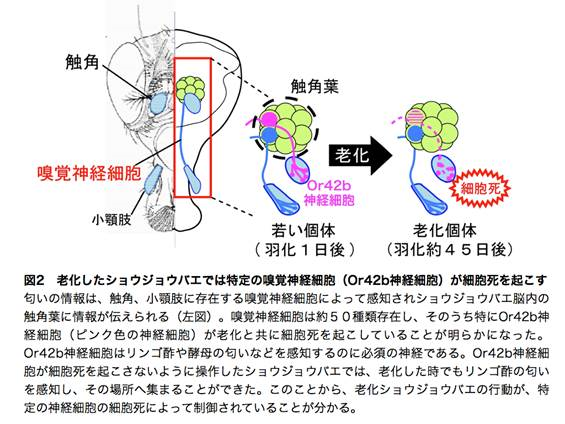 東大ら,ショウジョウバエの老化による特定の嗅覚神経細胞の死が異常行動の原因となることを発見
