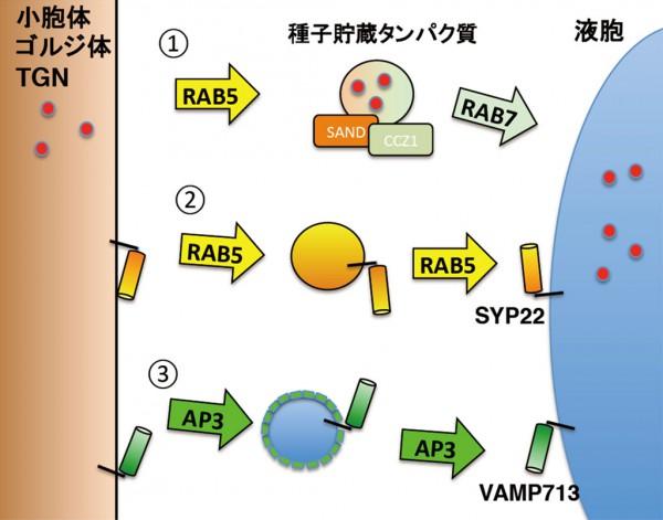東大,植物の液胞にタンパク質を運ぶ3つの経路を発見