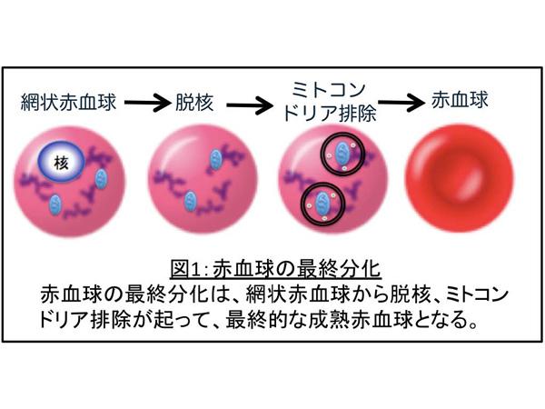 東京医科歯科大ら,赤血球からミトコンドリアが除かれるメカニズムを解明