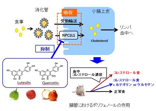 東大,食品ポリフェノールが腸管におけるコレステロール吸収を抑制するメカニズムを解明