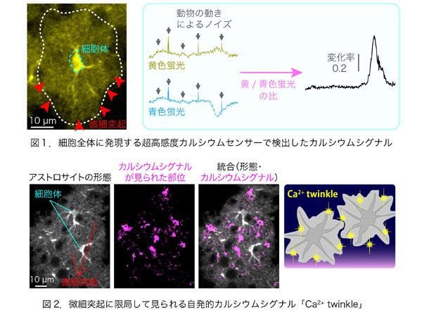 東大と慶大,グリア細胞内の微細なカルシウム活動も見逃さない新しい生体内イメージング技術を開発
