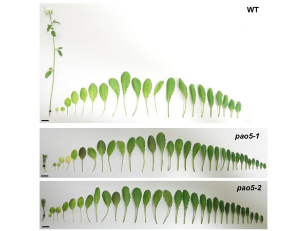 東北大,サーモスペルミン分解が生殖成長への移行に重要な役割を果たすことを発見