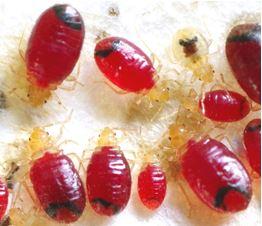 産総研ら,トコジラミとその生存を支える共生細菌との遺伝的進化の歴史を解明