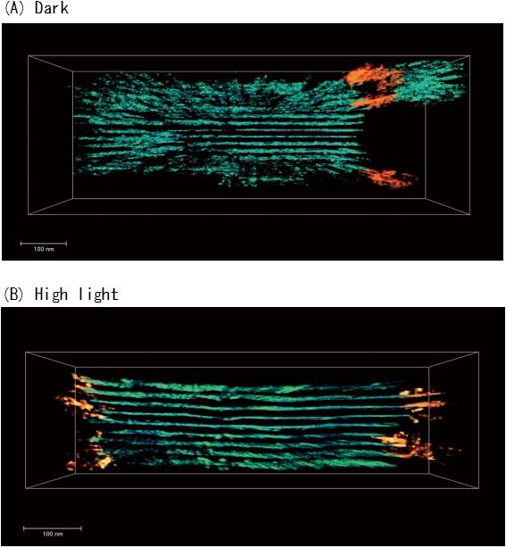 岡山大,強い光から身を守る植物のメカニズムの可視化に成功