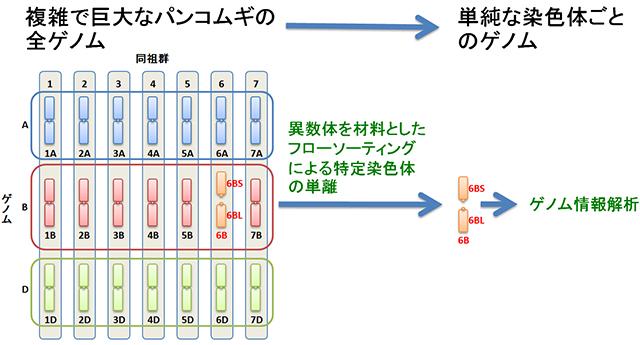 京大ら,コムギのゲノム配列の概要解読に成功