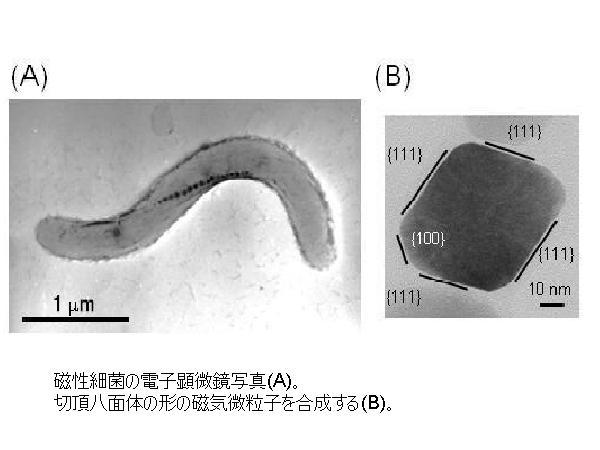 農工大,微生物を用いた磁気微粒子の合成法を開発
