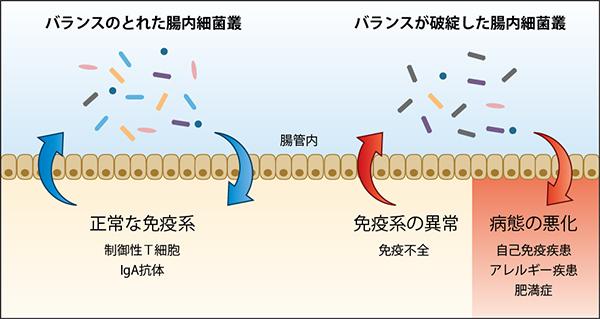 理研,腸内細菌叢と免疫系との間に新たな双方向制御機構を発見
