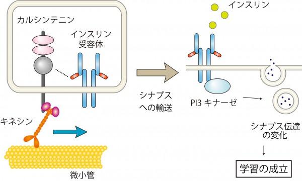東大,認知症に関わるタンパク質の遺伝子機能を解明