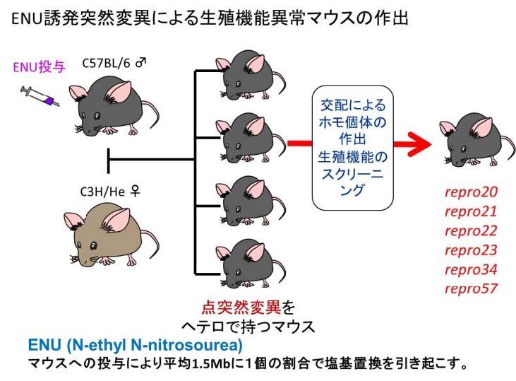 岡山大ら,突然変異マウスを用いて不妊の原因遺伝子を解明
