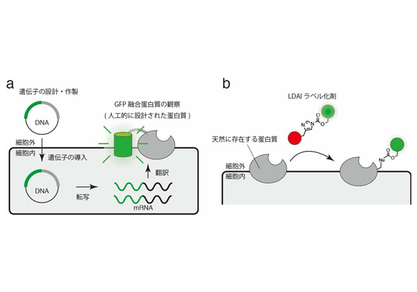 京大,膜蛋白質に蛍光色素等の目印を付けるための分子ツールを開発