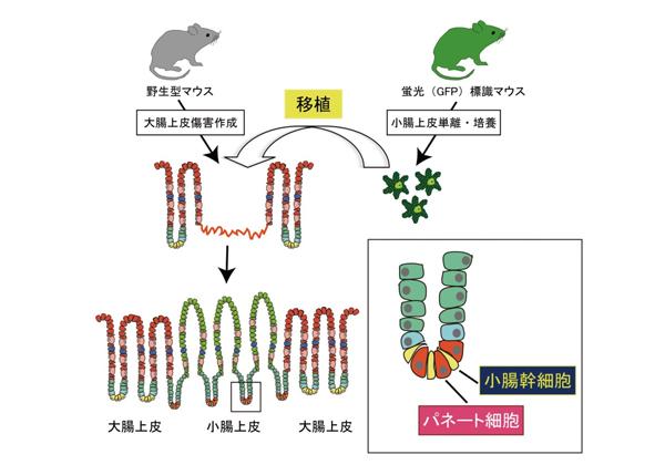 医科歯科大,大腸に続き小腸幹細胞のマウスでの移植実験に成功