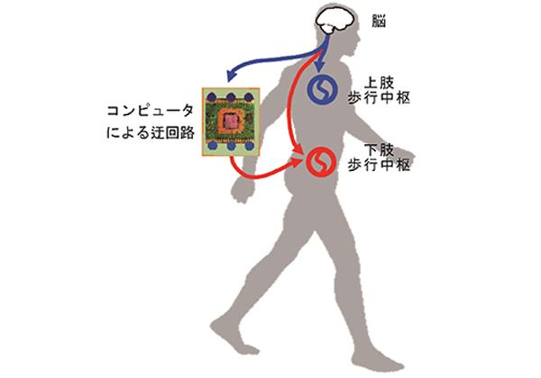 生理研,歩行中枢と腕の筋肉とをコンピュータを介して繋ぎ歩行運動パターンの制御に成功