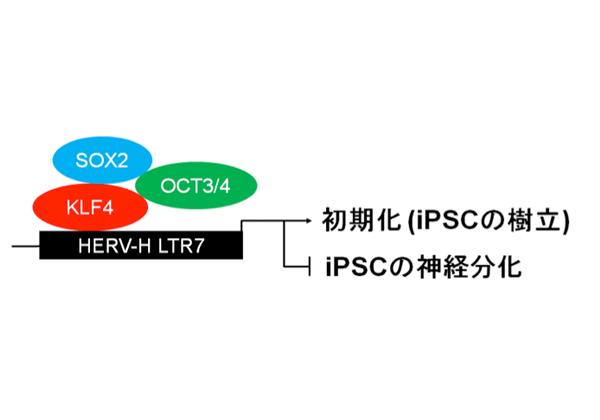 京大,iPS細胞の初期化/分化に内在性レトロウイルスが関与することを発見