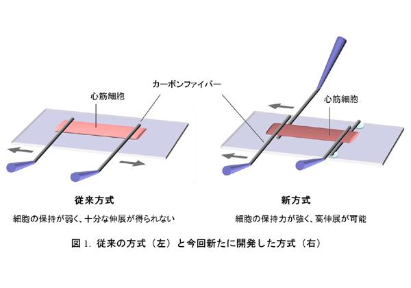 岡山大,心筋細胞の力学的特性を測定する技術を開発