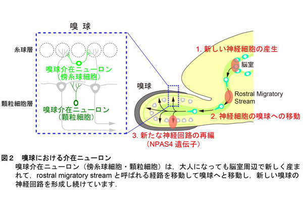 奈良県立医科大,においが神経細胞どうしのつながりを促進することを発見