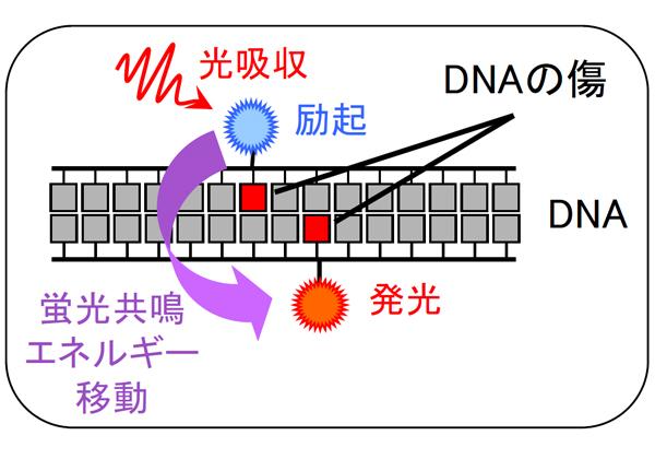原研,重粒子線によって生じたDNAの傷が塊のように存在することを発見
