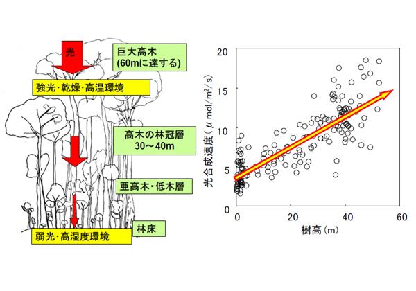森林総研,葉の光合成能力が樹高と共に増加することを発見