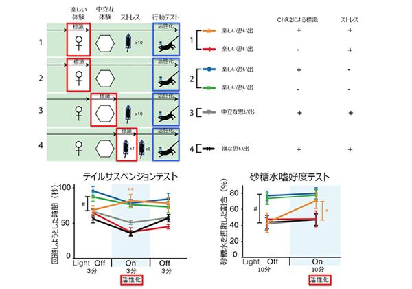 理研,光遺伝学で楽しかった記憶の活性化に成功