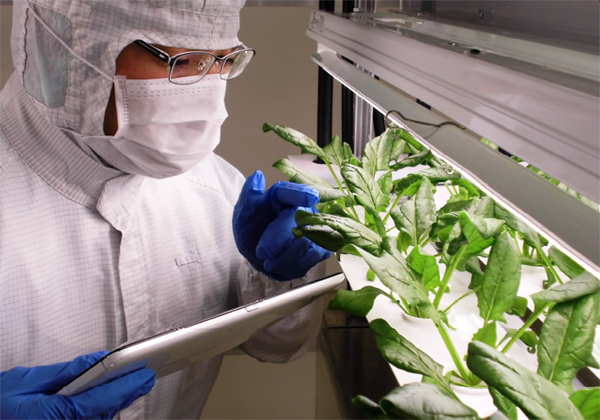 富士通,植物工場の低カリウムホウレンソウを販売