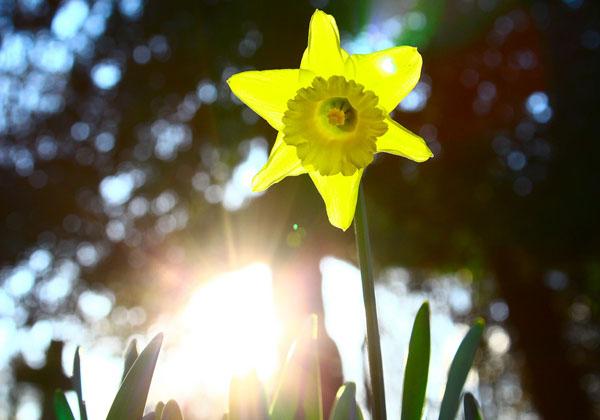 岡山大,光合成における葉緑体の機能を解明
