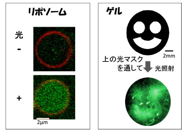 岡山大,光でタンパク質合成を時空間的に制御