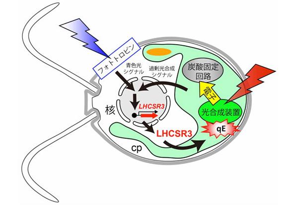 基生研ら,光合成のブレーキの仕組みを解明