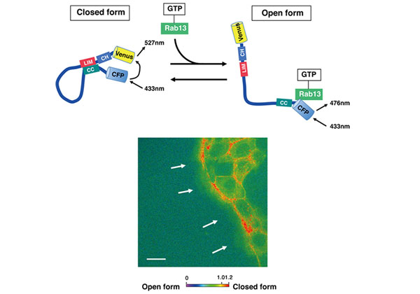 理研ら,1分子の構造変化から細胞集団の制御機構を解明