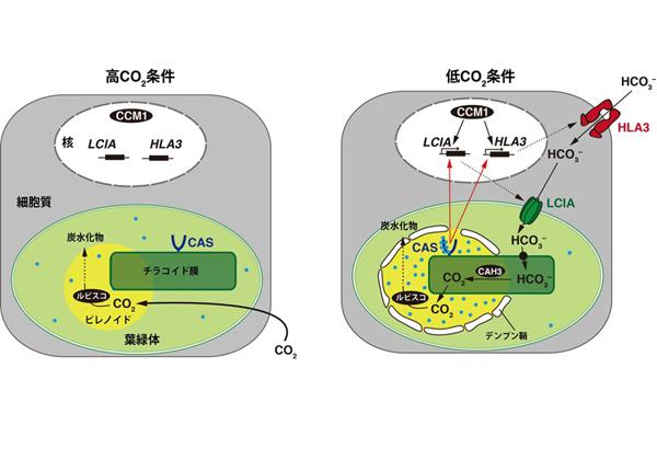 京大ら,藻類のCO2濃縮機構を解明