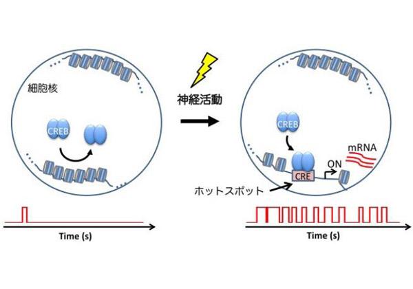 阪大,脳活動で特定の遺伝子が活性化する仕組みを観察