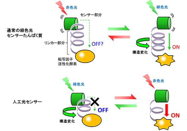 農工大ら,赤色光による遺伝子発現センサーを開発