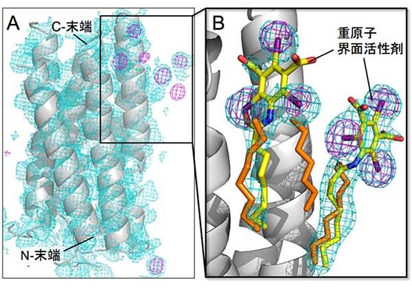 阪大ら,膜タンパク質の効率的な解析手法を開発