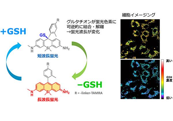 東大,生細胞内のグルタチオンの可視化と定量に成功