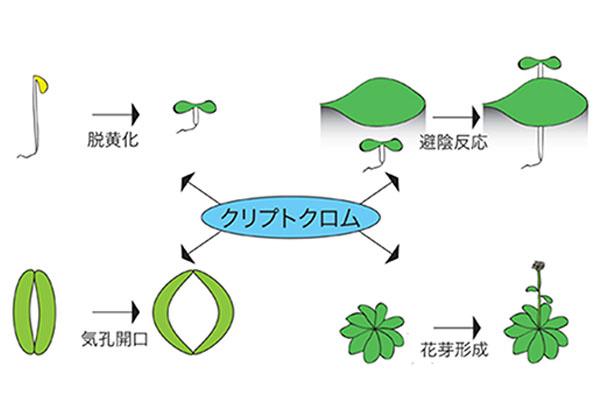 理研,植物の青色光特異的伸長化合物を同定