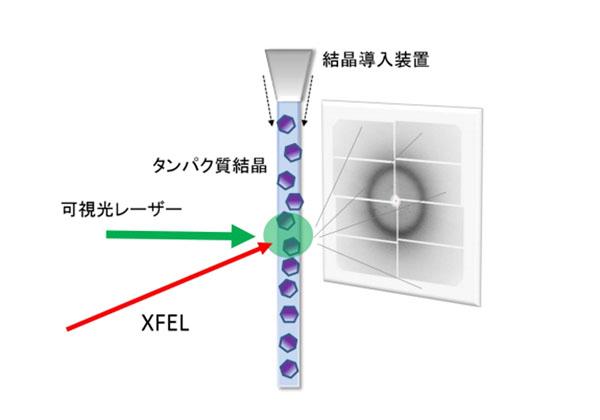 京大ら,タンパク質中の原子の動きをXFELで撮影