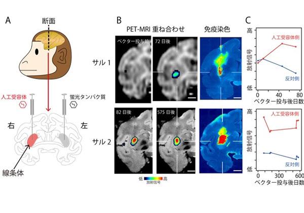 QSTら,サルの脳内の人工受容体をライブイメージング